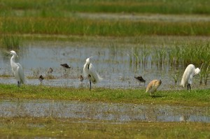 Birdwatching-at-wetland-Kalloni-wetland-Little-Egrets-Squacco-Heron-and-Ruffs-Aigrettes-garzettes-Crabier-chevelu-Combattants-variés